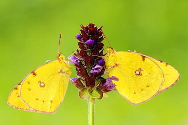 Clouded Yellow (Colias croceus) butterfly pair feeding at purple flower, Pruggern, Styria, Austria  -  Silvia Reiche
