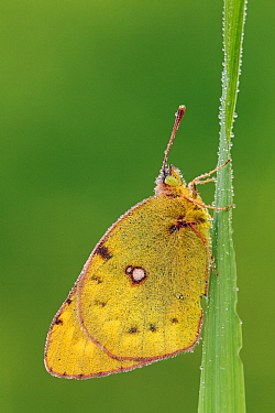 Clouded Yellow (Colias croceus) butterfly on blade of grass, Pruggern, Styria, Austria  -  Silvia Reiche