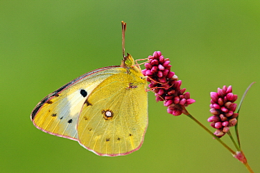 Clouded Yellow (Colias croceus)butterfly on a flower, Pruggern, Styria, Austria  -  Silvia Reiche