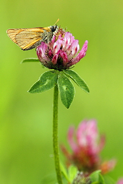 Small Skipper (Thymelicus sylvestris) butterfly  -  Silvia Reiche