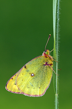 Pale Clouded Yellow (Colias hyale) butterfly on blade of grass, Austria  -  Silvia Reiche