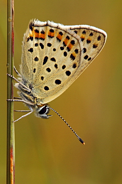 Sooty Copper (Lycaena tityrus) butterfly on blade of grass, Lauterbach, Black Forest, Germany  -  Silvia Reiche
