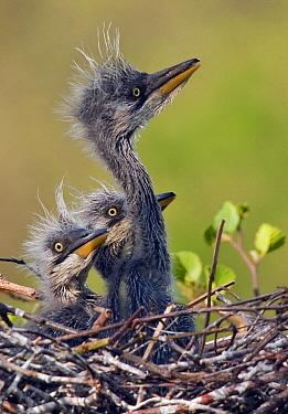 Grey Heron (Ardea cinerea) chicks on nest, Netherlands  -  Ernst Dirksen/ Buiten-beeld