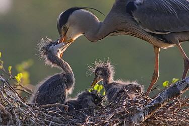 Grey Heron (Ardea cinerea) parent feeding chick on nest, Netherlands  -  Ernst Dirksen/ Buiten-beeld