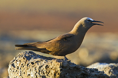 Brown Noddy (Anous stolidus) calling, Ascension Island, South Atlantic  -  Otto Plantema/ Buiten-beeld