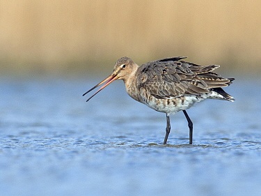 Black-tailed Godwit (Limosa limosa) foraging female, Zuid-Holland, Netherlands  -  Erik van Velden/ NiS