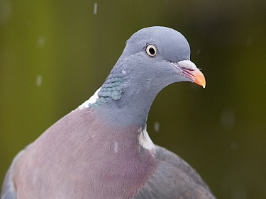 Common Wood-pigeon (Columba palumbus), Zuid-Holland, Netherlands  -  Erik van Velden/ NiS