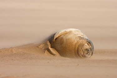 Grey Seal (Halichoerus grypus) on beach in blowing sand, Donna Nook, Lincolnshire, United Kingdom  -  Jasper Doest