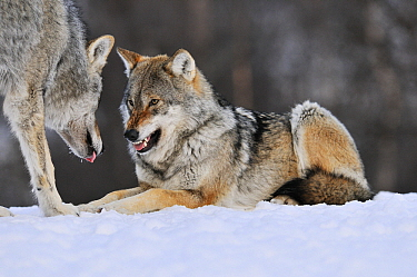 Gray Wolf (Canis lupus) growling at another individual, Norway  -  Jasper Doest