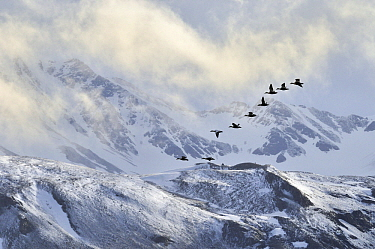 Common Eider (Somateria mollissima) duck, flock flying past snow-covered mountain range, Svalbard, Norway  -  Jasper Doest