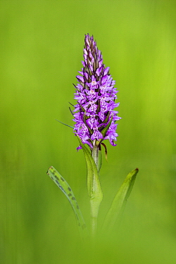 Common Spotted Orchid (Dactylorhiza fuchsii) flower, Netherlands  -  Jasper Doest