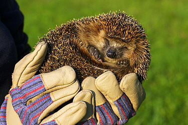 Brown-breasted Hedgehog (Erinaceus europaeus) being held, Czech Republic  -  Jasper Doest