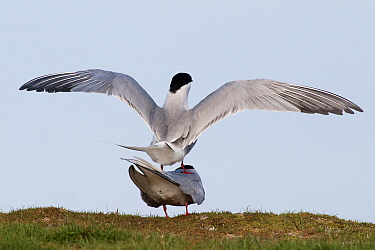 Common Tern (Sterna hirundo) mating pair, Wagejot, Texel, Noord-Holland, Netherlands  -  Jasper Doest