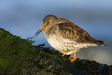 Purple Sandpiper (Calidris maritima) foraging, Hoek van Holland, Zuid-Holland, Netherlands  -  Jasper Doest