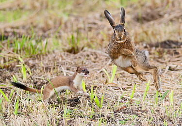 Short-tailed Weasel (Mustela erminea) chasing European Hare (Lepus europaeus), Friesland, Netherlands, sequence 7 of 7  -  Henny Brandsma/ Buiten-beeld