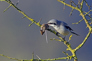 Great Grey Shrike (Lanius excubitor) impaling mouse prey on thorn, Lochem, Gelderland, Netherlands  -  Michiel Schaap/ Buiten-beeld