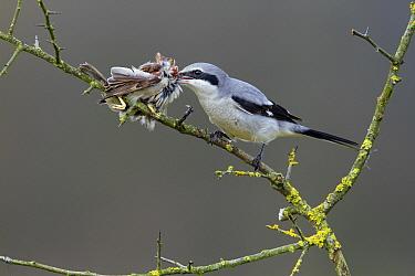 Great Grey Shrike (Lanius excubitor) feeding on House Sparrow (Passer domesticus), Lochem, Gelderland, Netherlands  -  Michiel Schaap/ Buiten-beeld