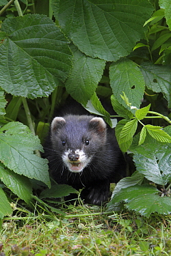 European Polecat (Mustela putorius) baby in garden, Lower Saxony, Germany  -  Duncan Usher