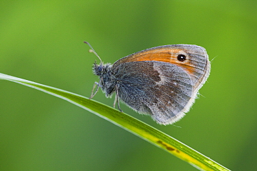 Small Heath (Coenonympha pamphilus) butterfly resting on grass, Lower Saxony, Germany  -  Duncan Usher