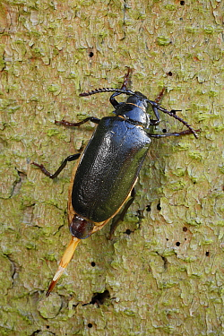 Tanner Beetle (Prionus coriarius) female showing ovipositor, Lower Saxony, Germany  -  Duncan Usher