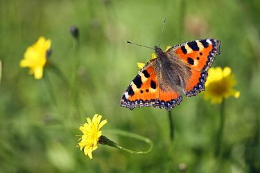 Small Tortoiseshell (Aglais urticae) butterfly on flower, Lower Saxony, Germany  -  Duncan Usher