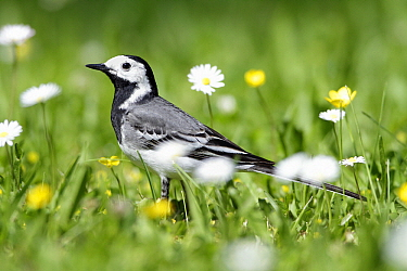 White Wagtail (Motacilla alba) foraging in garden, Lower Saxony, Germany  -  Duncan Usher