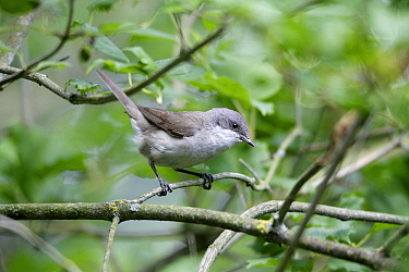 Lesser Whitethroat (Sylvia curruca), Lower Saxony, Germany  -  Duncan Usher