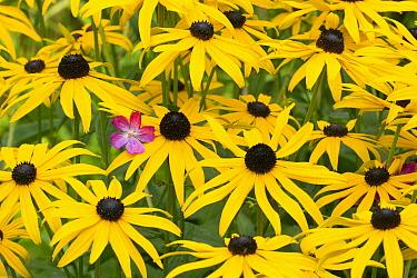 Blackeyed Susan (Rudbeckia hirta) flowers in garden, Lower Saxony, Germany  -  Duncan Usher