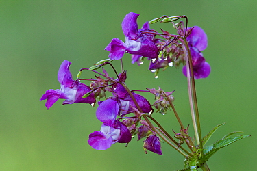 Himalayan Balsam (Impatiens glandulifera) flowering, Lower Saxony, Germany  -  Duncan Usher