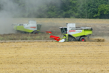Oil Seed Rape (Brassica napus) crop being harvested by combine  -  Duncan Usher