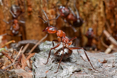 Red Wood Ant (Formica rufa) soldier in defensive position ready to spray formic acid, Lower Saxony, Germany  -  Duncan Usher