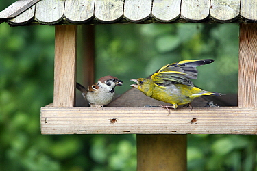 European Greenfinch (Chloris chloris) squabbling with Tree Sparrow (Passer montanus), Lower Saxony, Germany  -  Duncan Usher