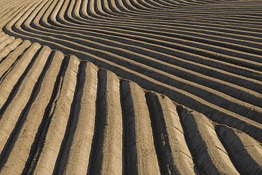 Potato field, Friesland, Netherlands  -  Ruurd Jelle van der Leij/ Buiten-beeld