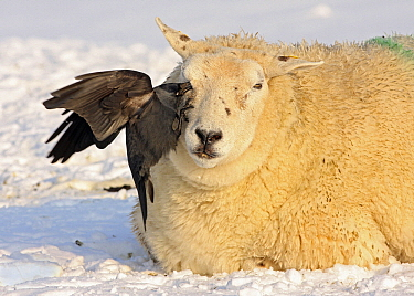 Eurasian Jackdaw (Corvus monedula) picking a tick from a Domestic Sheep (Ovis aries), Wyns, Friesland, Netherlands  -  Ruurd Jelle van der Leij/ Buiten-beeld