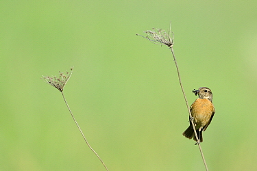 Common Stonechat (Saxicola torquata) female with insect prey, Pleven, Bulgaria  -  Winfried Wisniewski