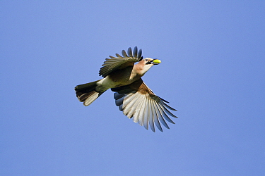 Eurasian Jay (Garrulus glandarius) flying with an acorn in its bill, Hessen, Germany  -  Duncan Usher