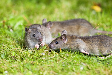 Brown Rat (Rattus norvegicus) juveniles in garden, Lower Saxony, Germany  -  Duncan Usher