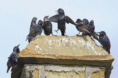 Common Starling (Sturnus vulgaris) group perched on chimney, Northumberland, England  -  Duncan Usher