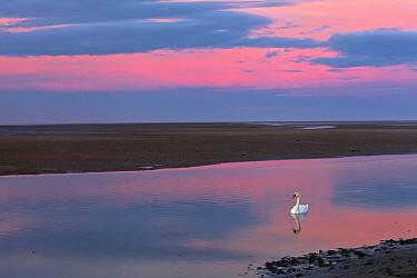 Mute Swan (Cygnus olor), Lindisfarne National Nature Reserve, Northumberland, England  -  Duncan Usher