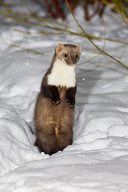 Beech Marten (Martes foina) in snow, Lower Saxony, Germany  -  Duncan Usher