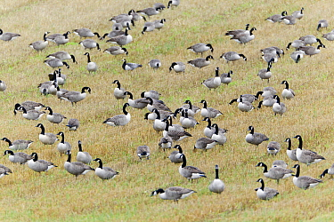 Canada Goose (Branta canadensis) flock foraging on stubble field, Colwell, Northumberland, England  -  Duncan Usher