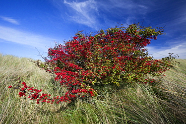 Singleseed Hawthorn (Crataegus monogyna) with ripened berries, Lindisfarne National Nature Reserve, Northumberland, England  -  Duncan Usher