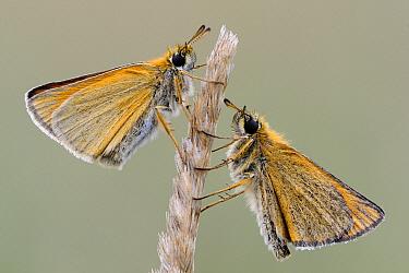 European Skipper (Thymelicus lineola) butterfly pair, Den Helder, Noord-Holland, Netherlands  -  Do van Dijk/ NiS