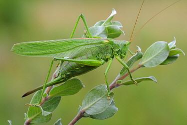 Great Green Bush Cricket (Tettigonia viridissima), Den Helder, Noord-Holland, Netherlands  -  Do van Dijk/ NiS