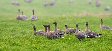 Pink-footed Goose (Anser brachyrhynchus) flock, Bolsward, Friesland, Netherlands  -  Marcel van Kammen/ NiS