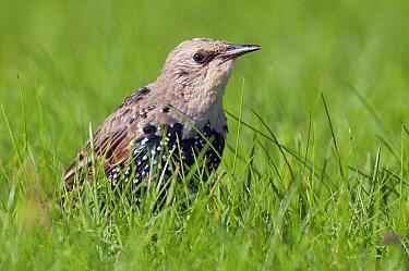 Common Starling (Sturnus vulgaris), De Westereen,Friesland, Netherlands  -  Marcel van Kammen/ NiS