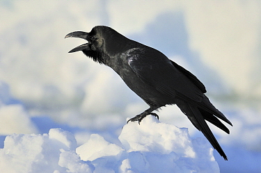 Large-billed Crow (Corvus macrorhynchos) calling, Hokkaido, Japan  -  Philip Friskorn/ NiS