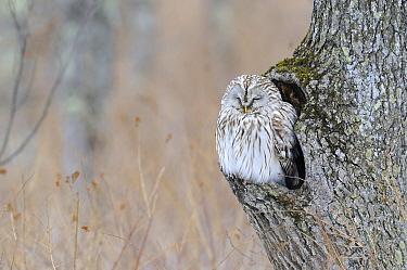 Ural Owl (Strix uralensis) day roosting, Hokkaido, Japan  -  Philip Friskorn/ NiS