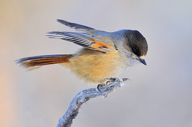 Siberian Jay (Perisoreus infaustus), Kaamanen, Finland  -  Philip Friskorn/ NiS