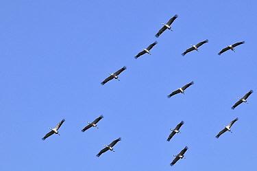Common Crane (Grus grus) flock flying, Rugen, Germany  -  Philip Friskorn/ NiS